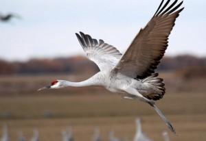 Sandhill Crane in Nebraska