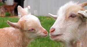 Gretta's Goats Goat Milk Soap