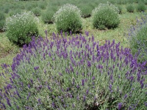 Prairie Lavender Farm StateGiftsUSA.com