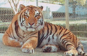 Baton Rouge LSU Mike the Tiger